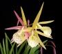 Brassolaelia 'Yellow Bird' - storczyk FS (15 Pr)