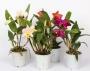 Cattleya hybryda MIX - FS niespodzianka