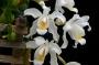 Coelogyne cristata - storczyk FS