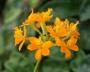 Epidendrum radicans CT Vigor  -  storczyk FS, kwitnie