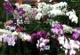 Phalaenopsis hybr. MIX - storczyk FS niespodzianka